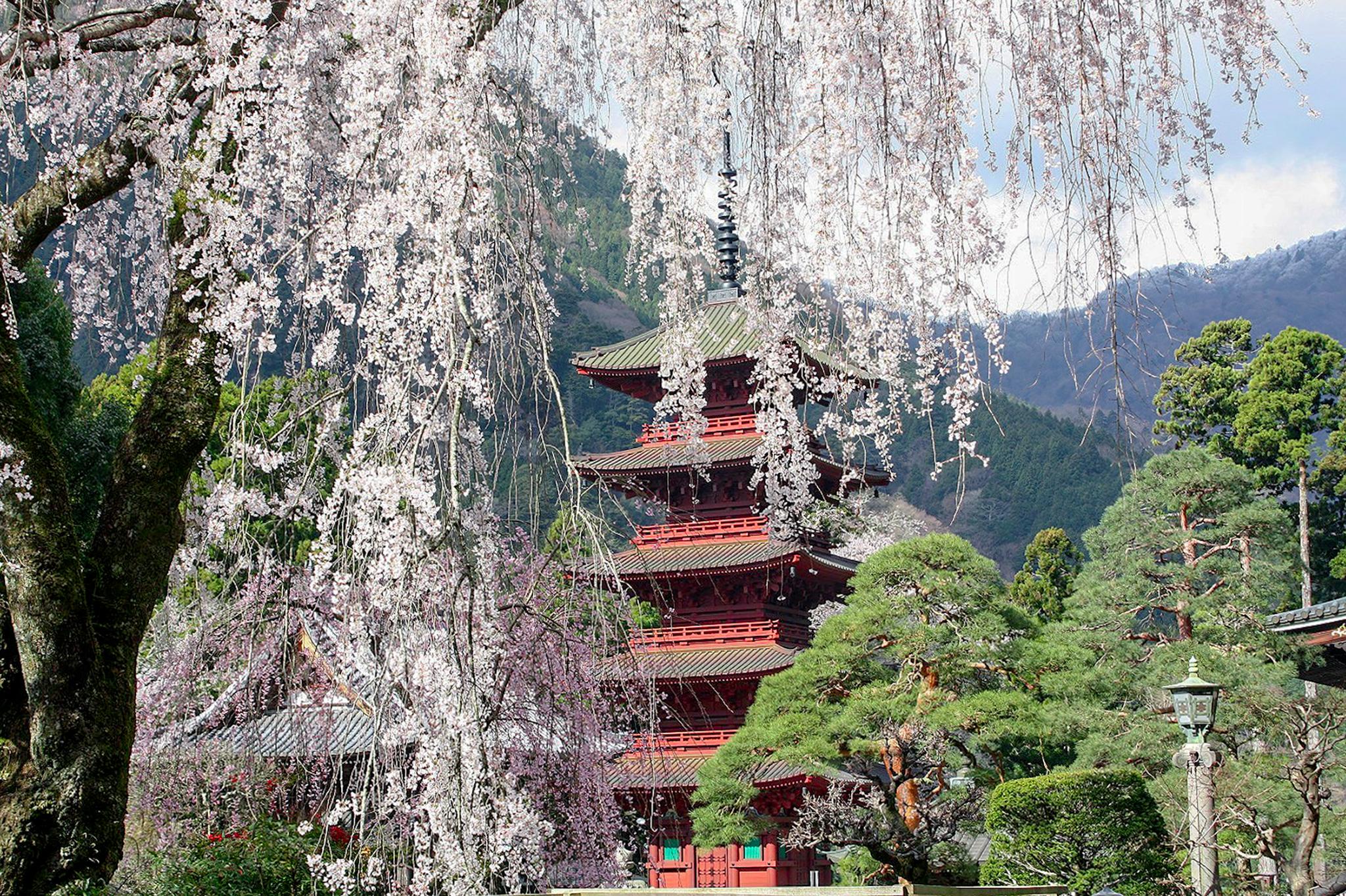身延山久遠寺の桜 写真2