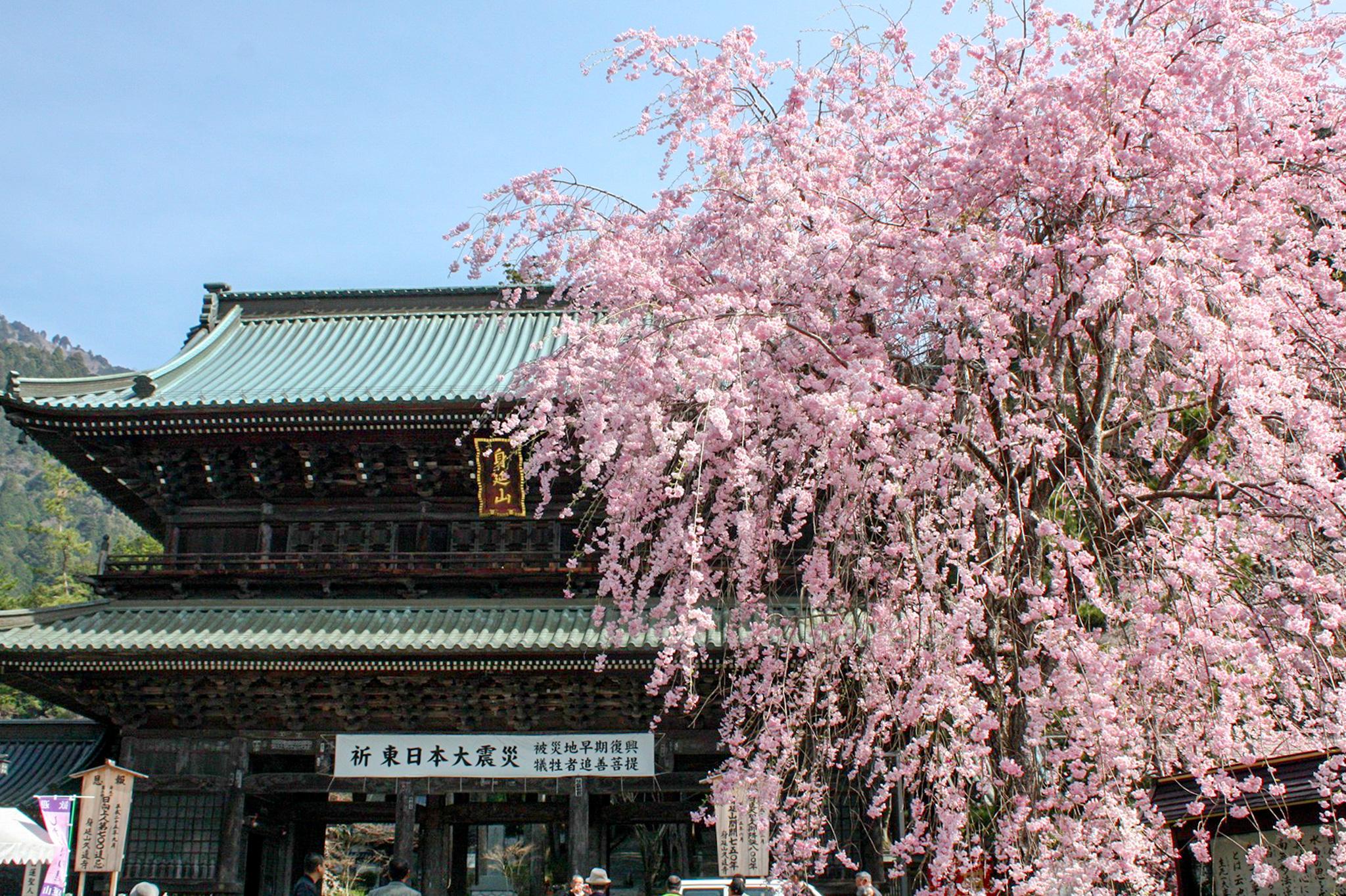 身延山久遠寺の桜 写真3