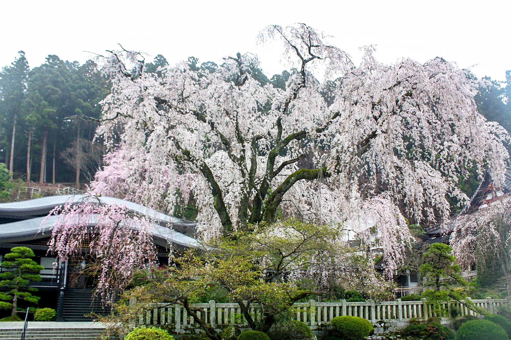 身延山久遠寺の桜 写真4