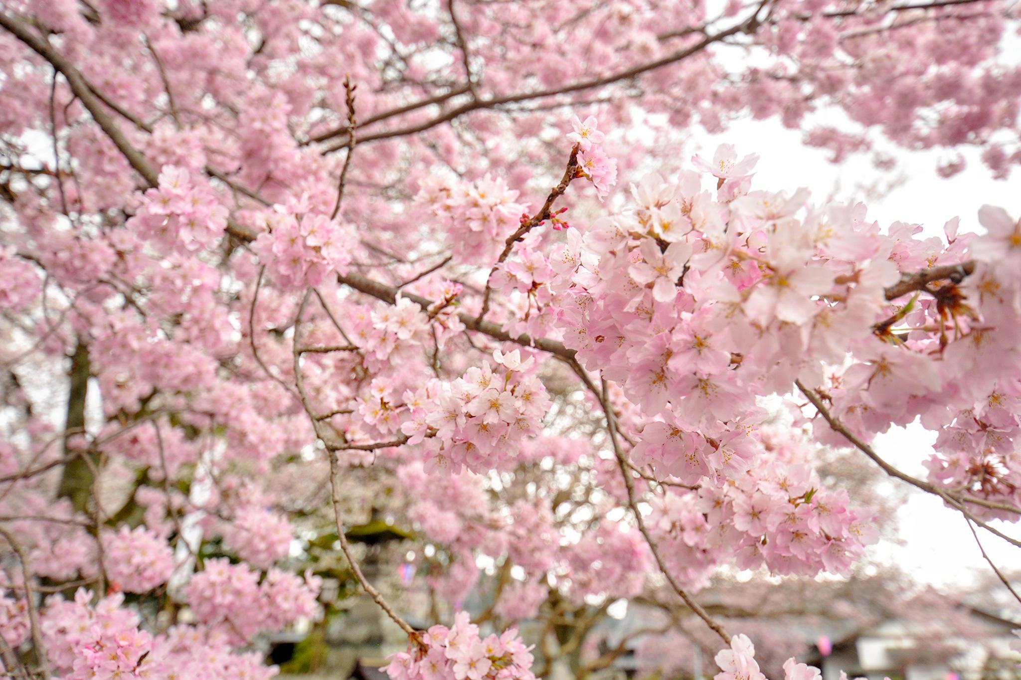 妙了寺の桜 写真2