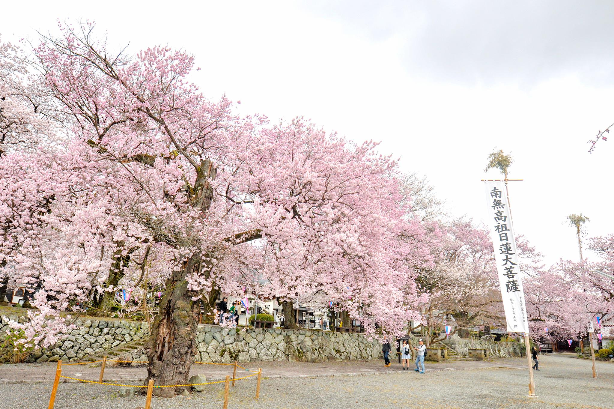 妙了寺の桜 写真4