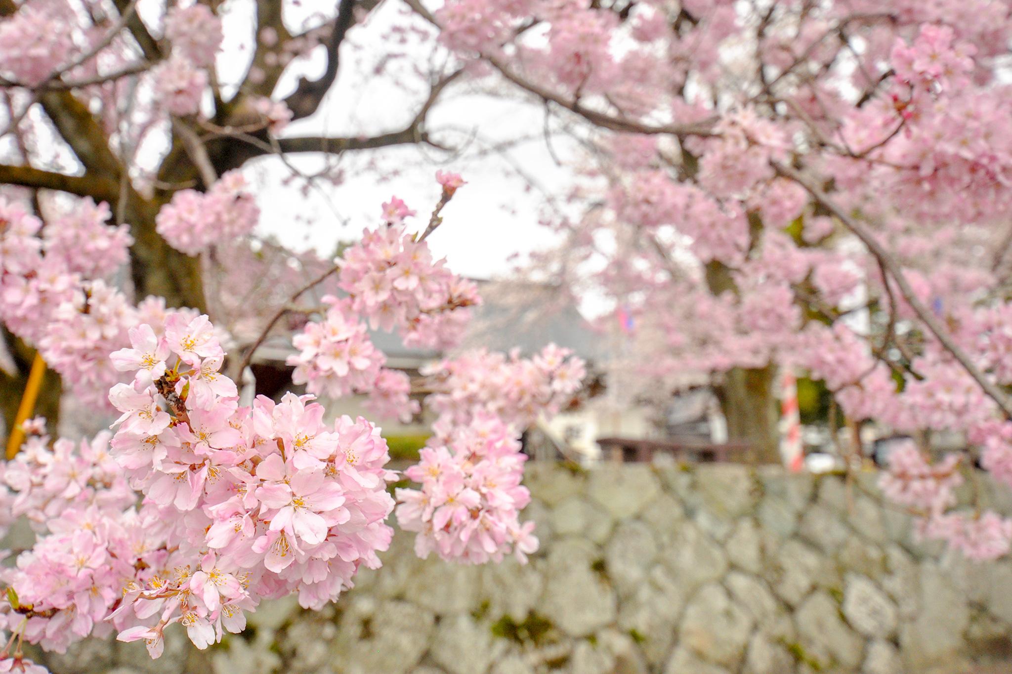 妙了寺の桜 写真5