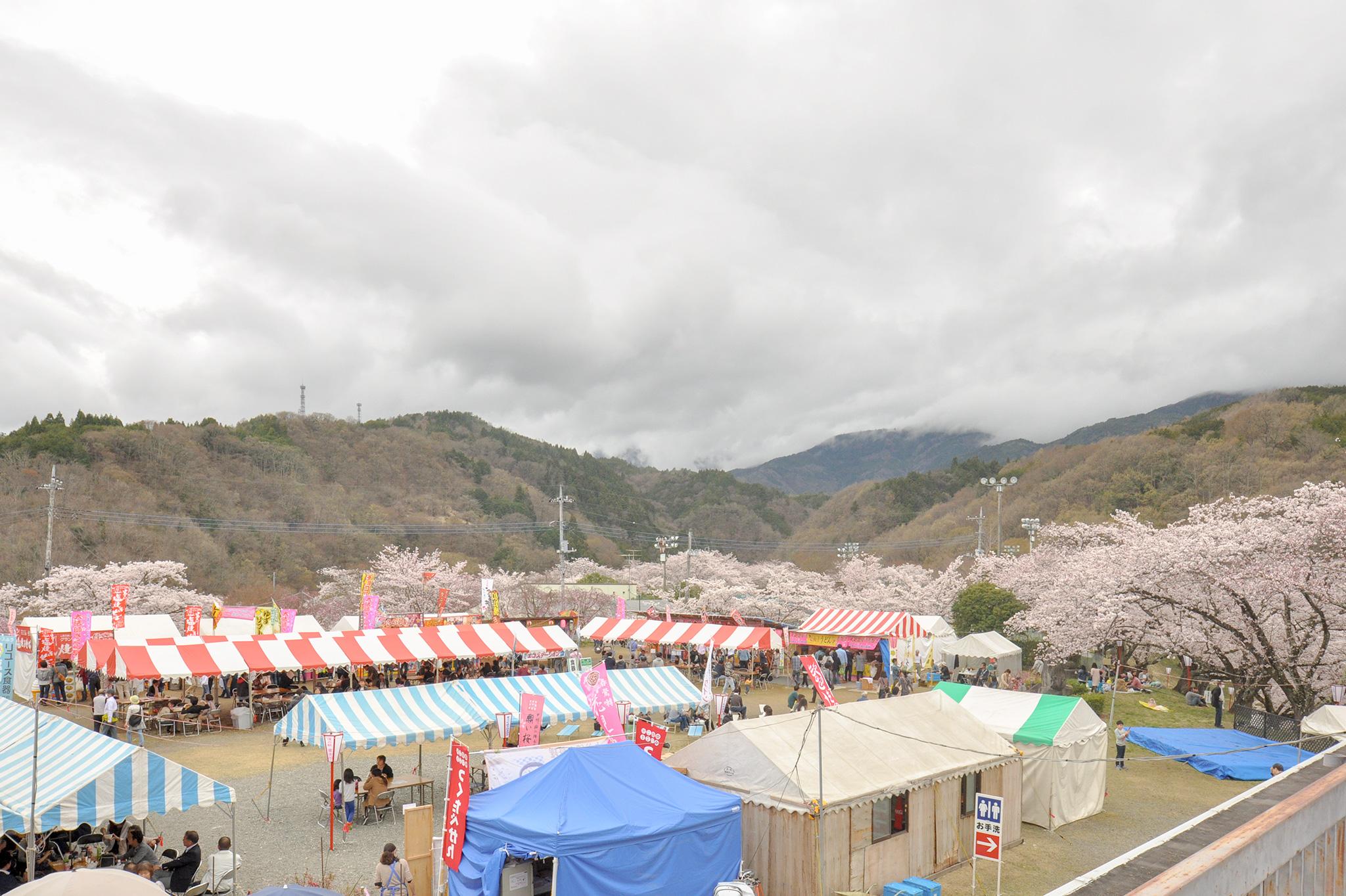 大法師公園の桜 写真5