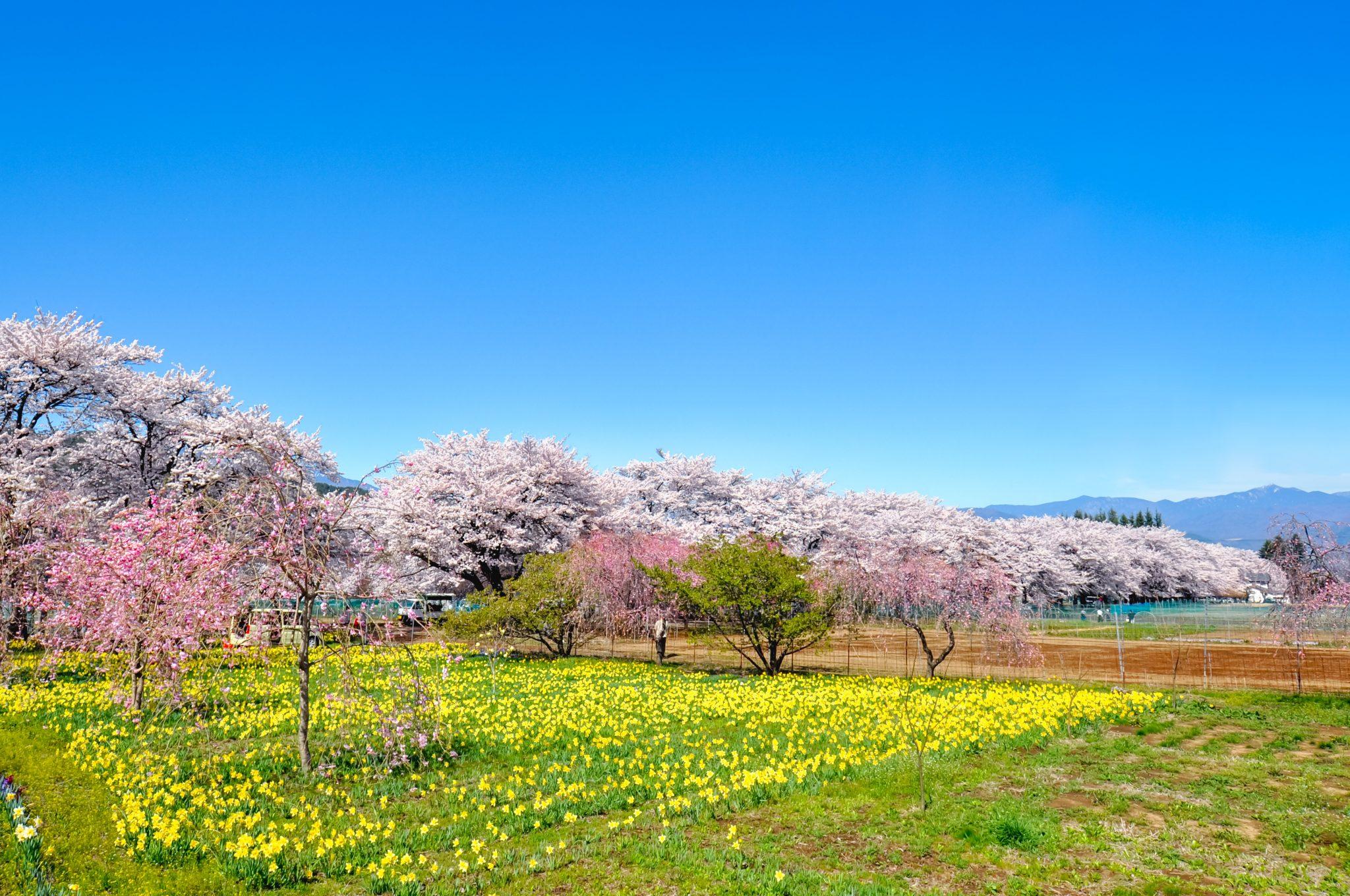 眞原桜並木 写真1