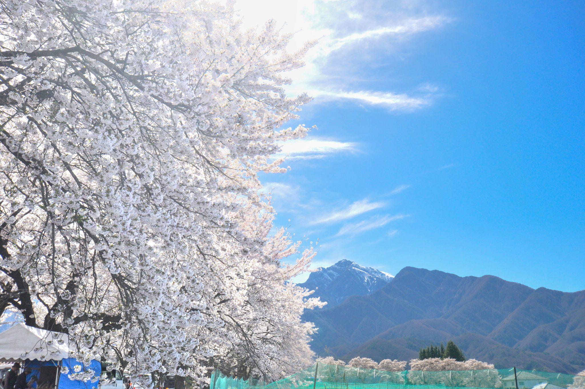 眞原桜並木 写真4