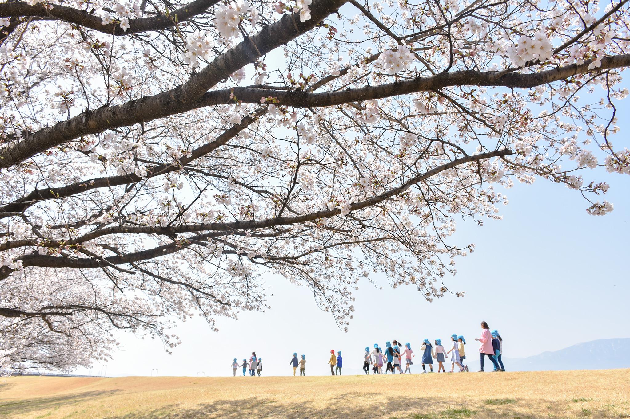 信玄堤公園の桜 写真5
