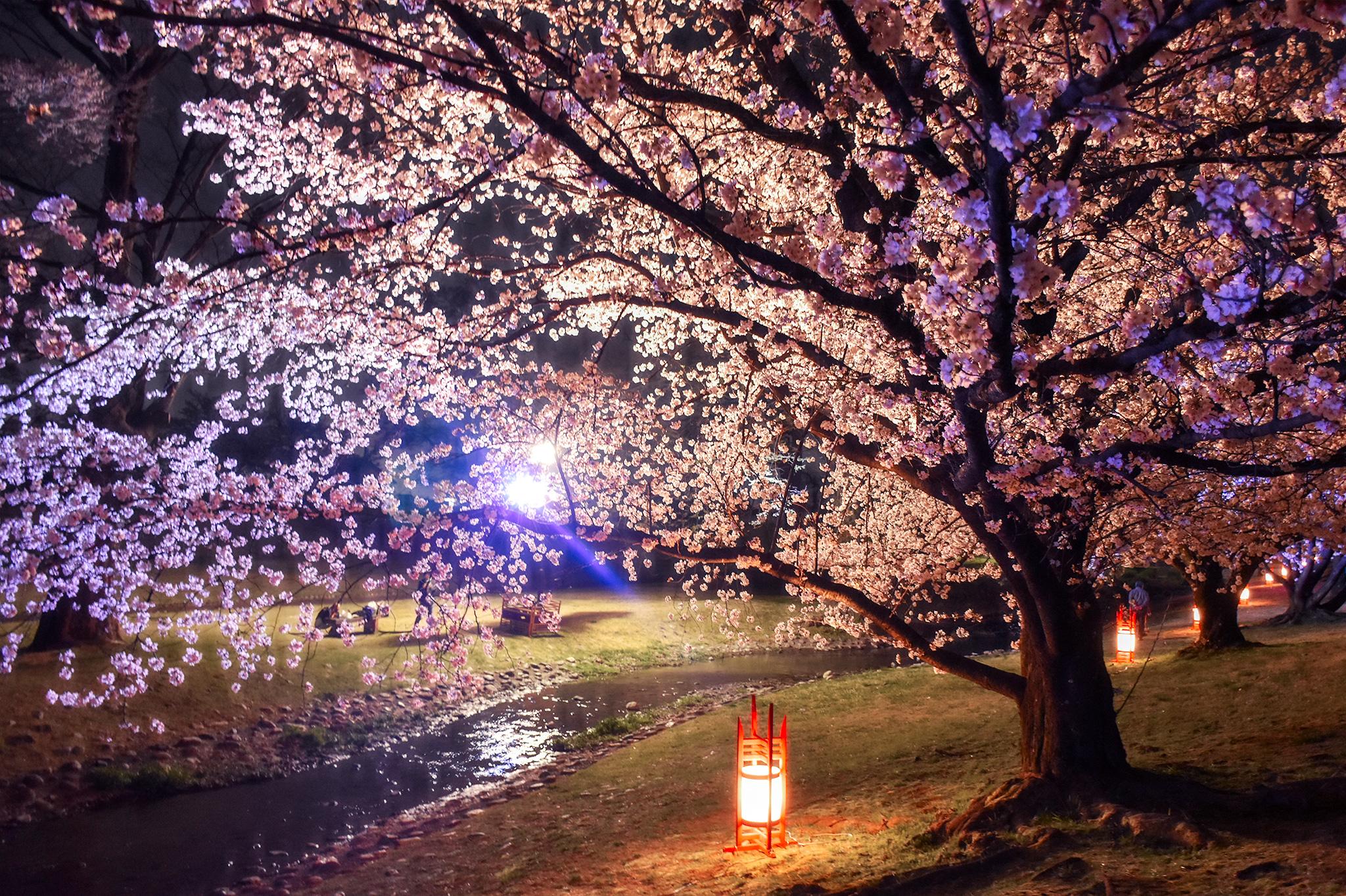 信玄堤公園の桜 写真7