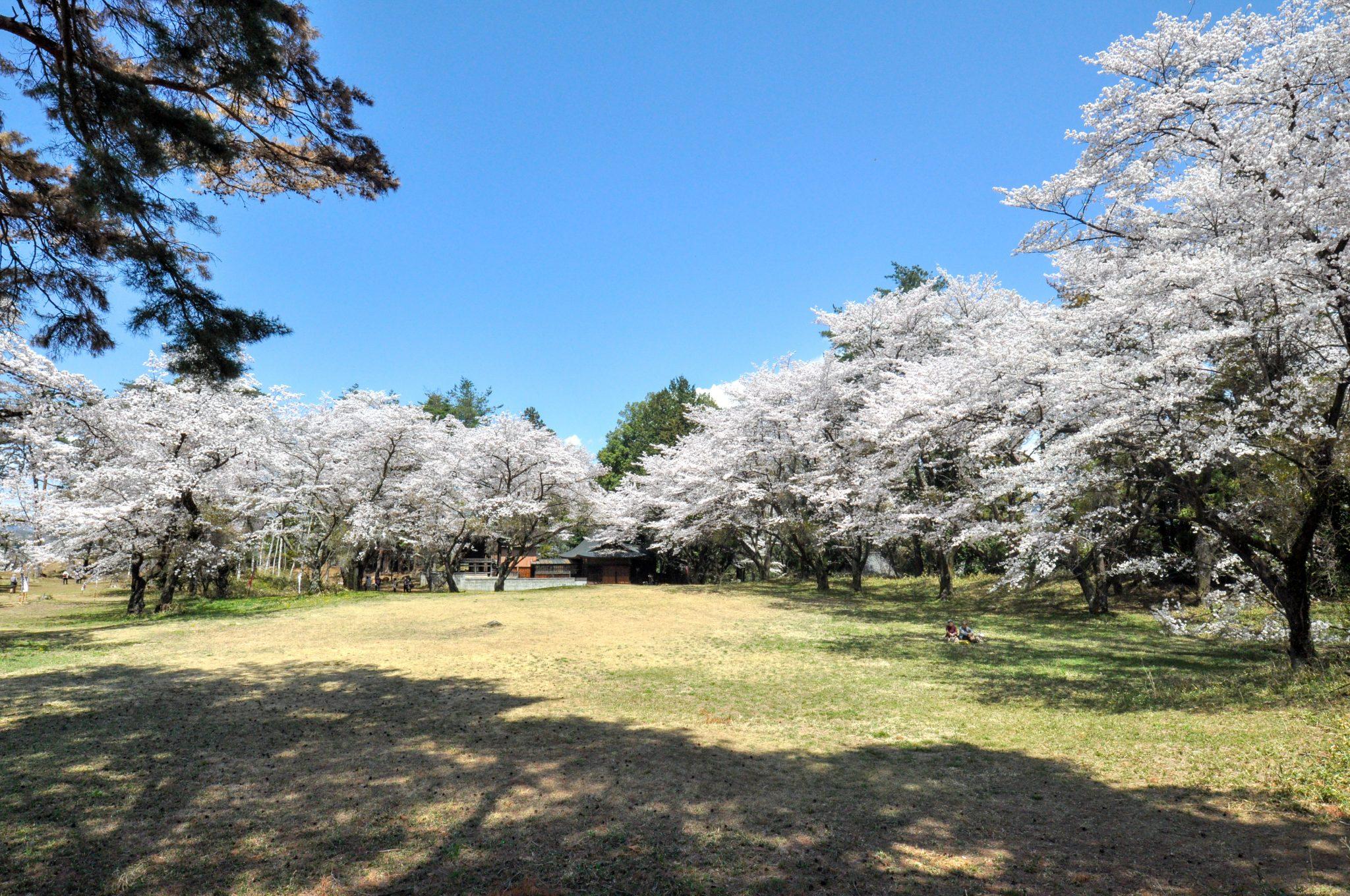 新府城跡の桜 写真1
