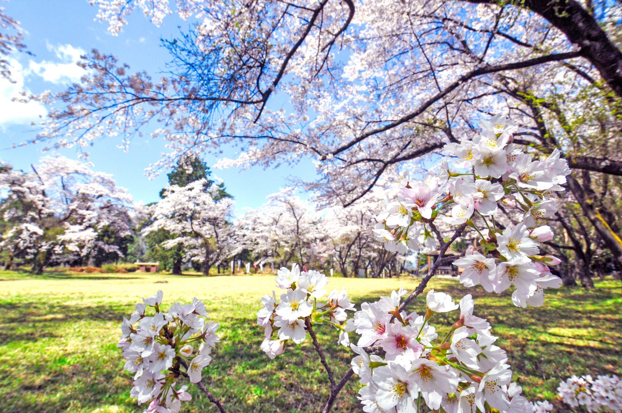 新府城跡の桜 写真3