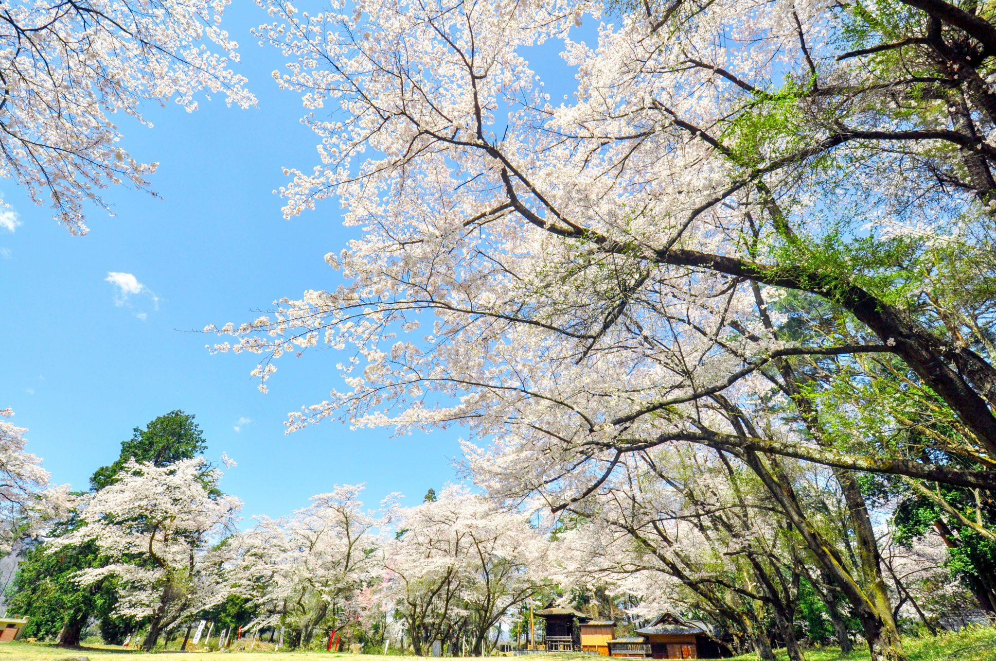 新府城跡の桜 写真4