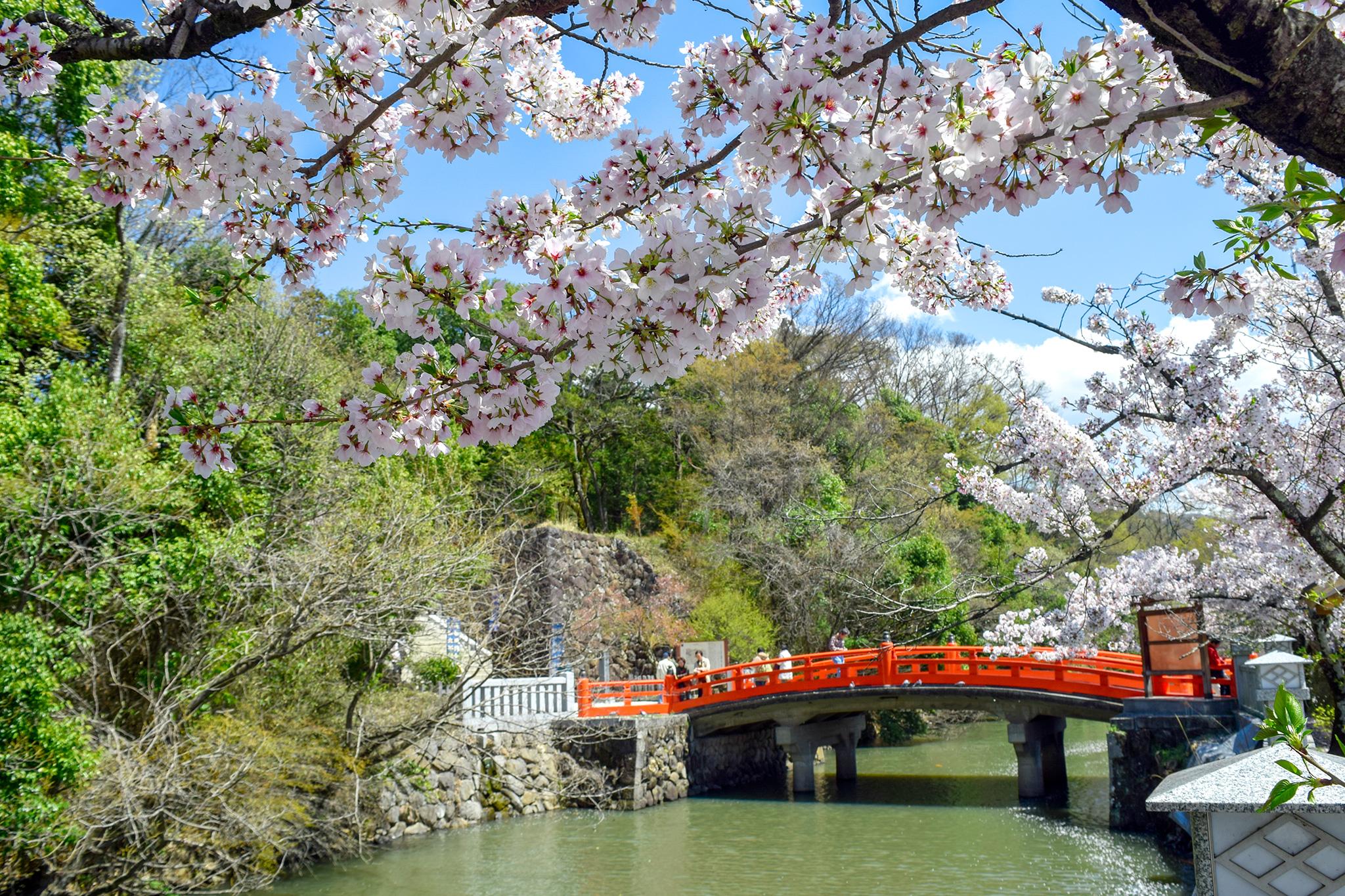 武田神社 武田通りの桜 写真2