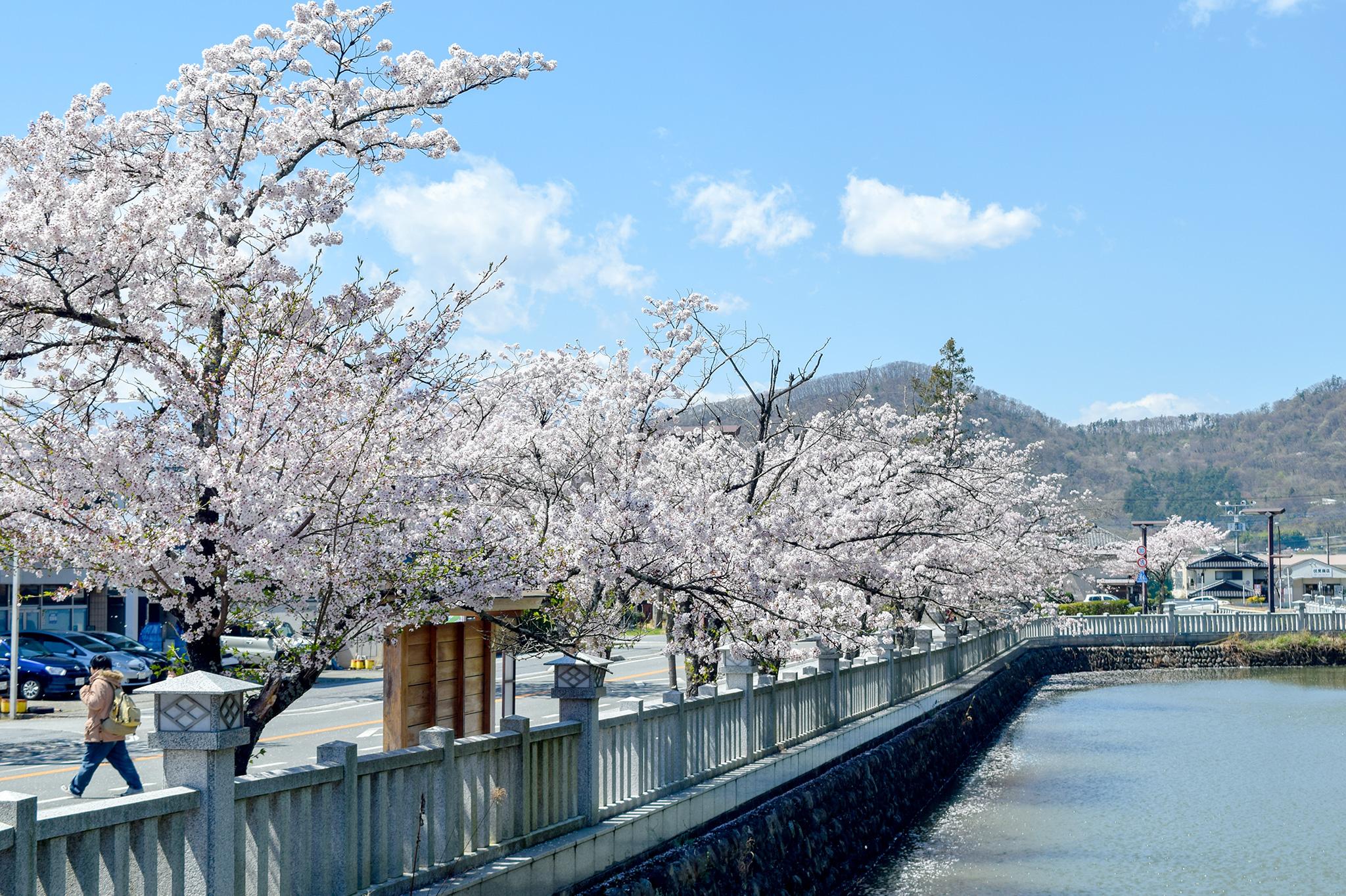 武田神社 武田通りの桜 写真4
