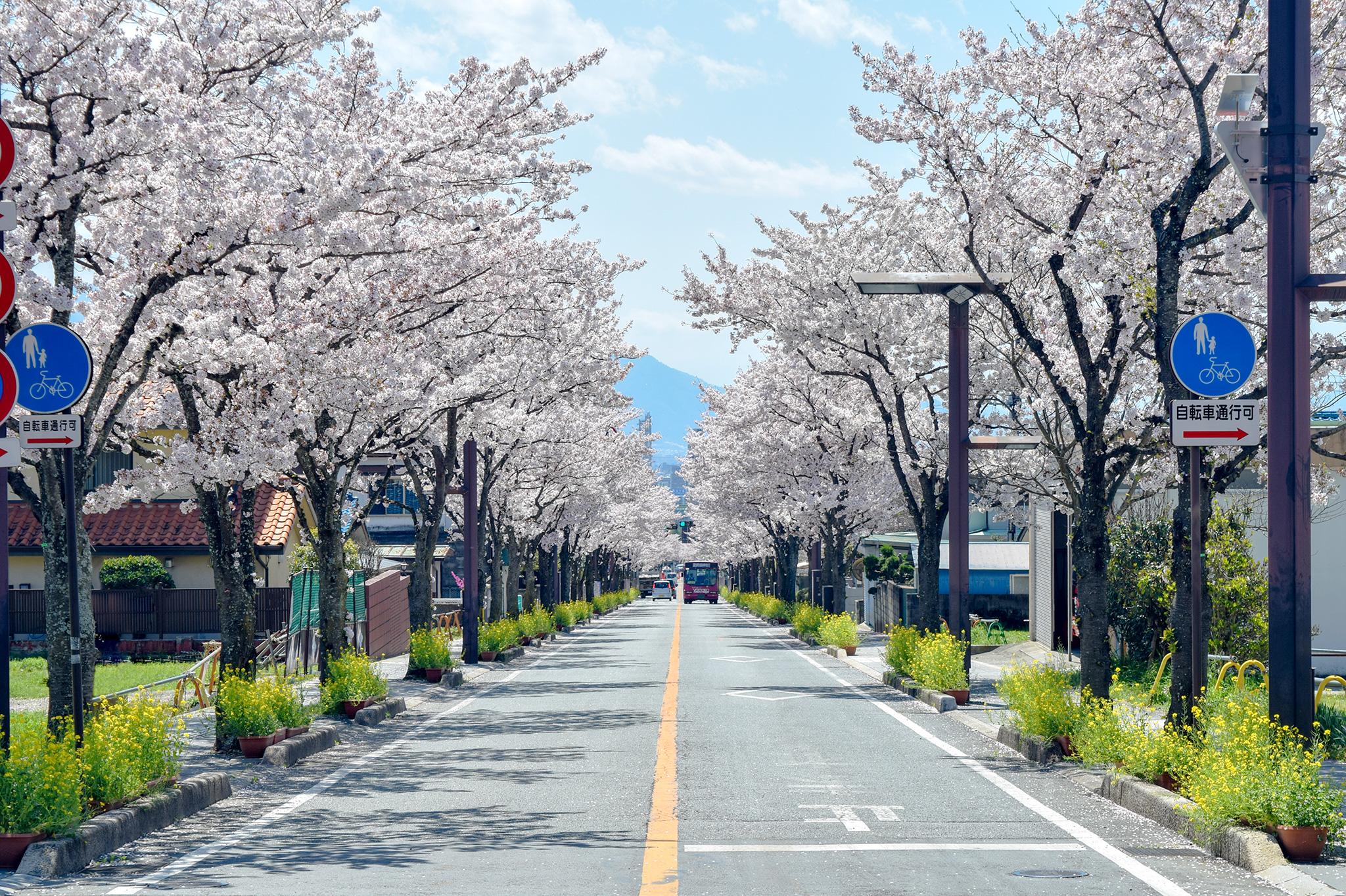 武田神社 武田通りの桜 写真5