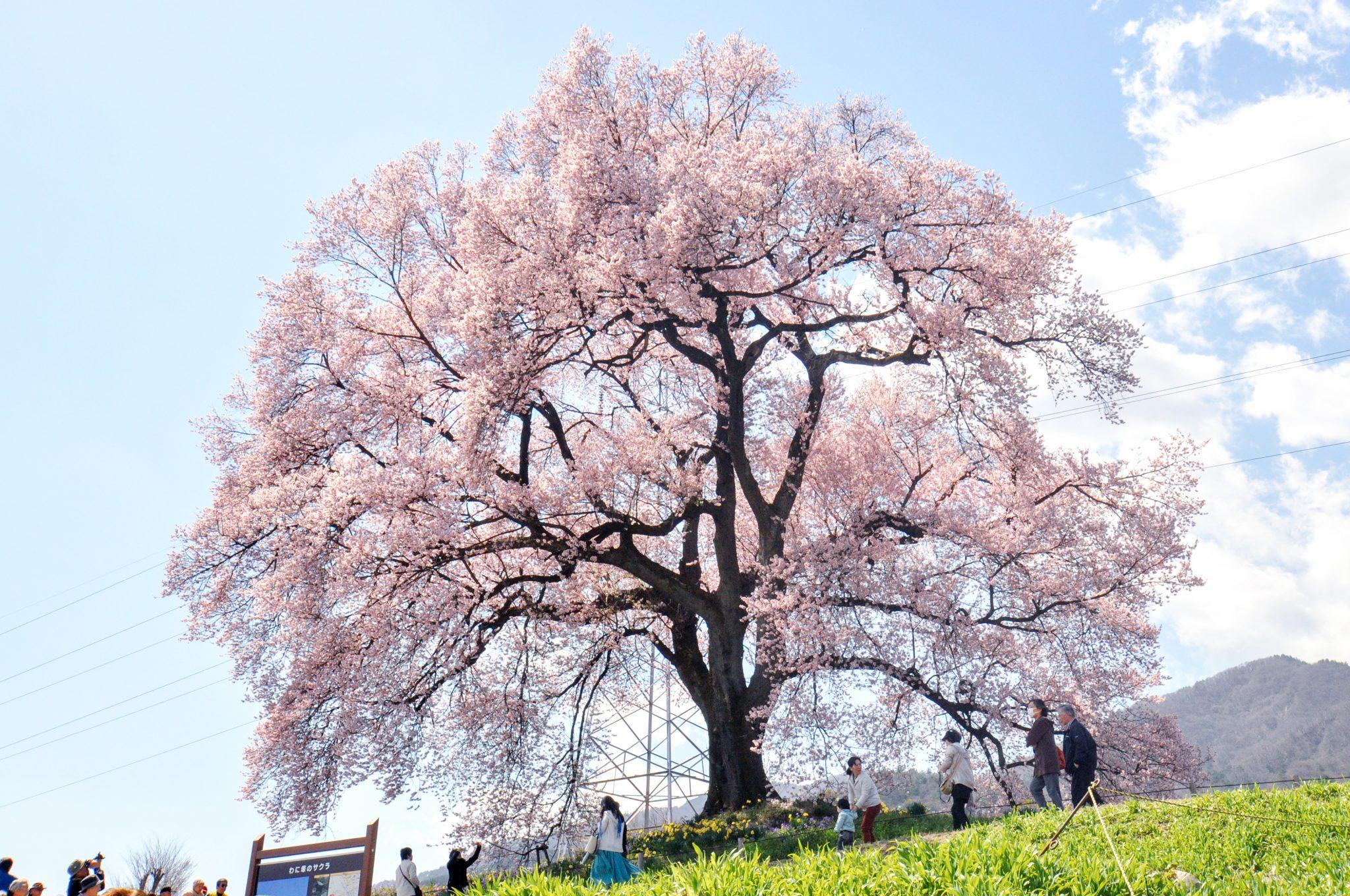 わに塚の桜 写真1