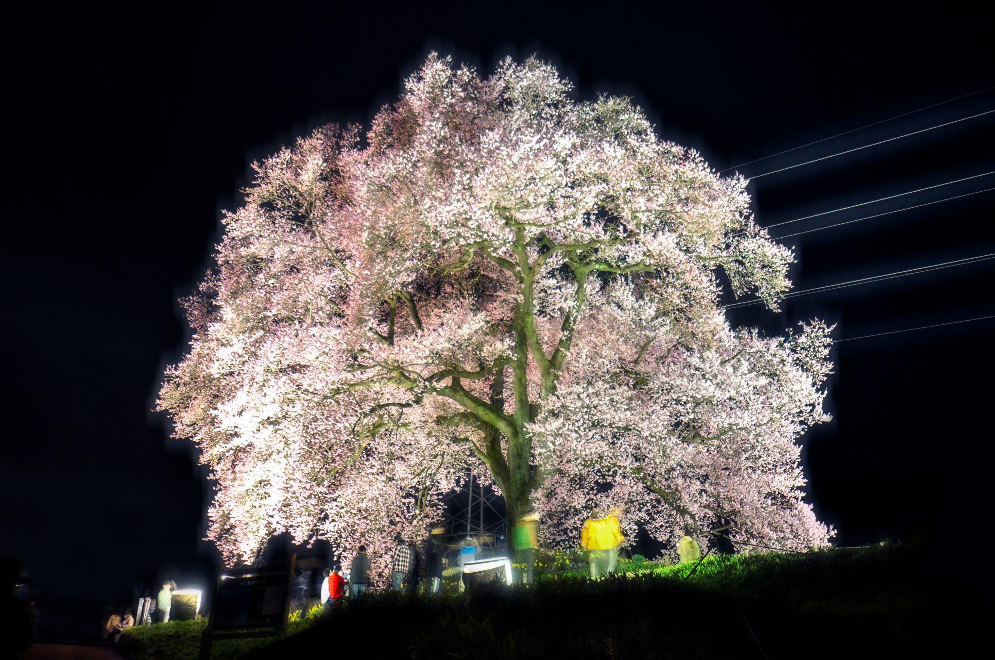 わに塚の桜 写真2