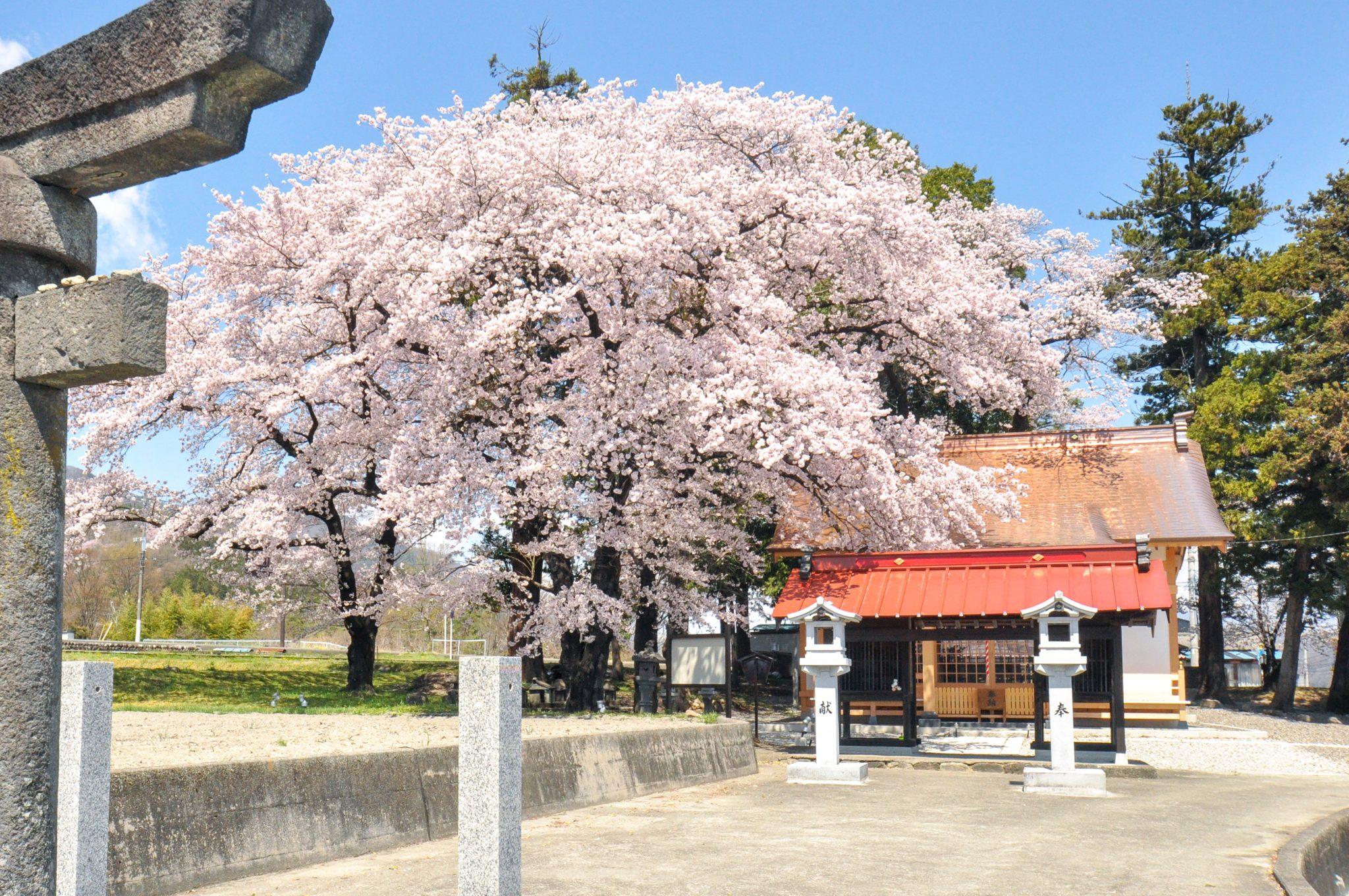 わに塚の桜 写真3