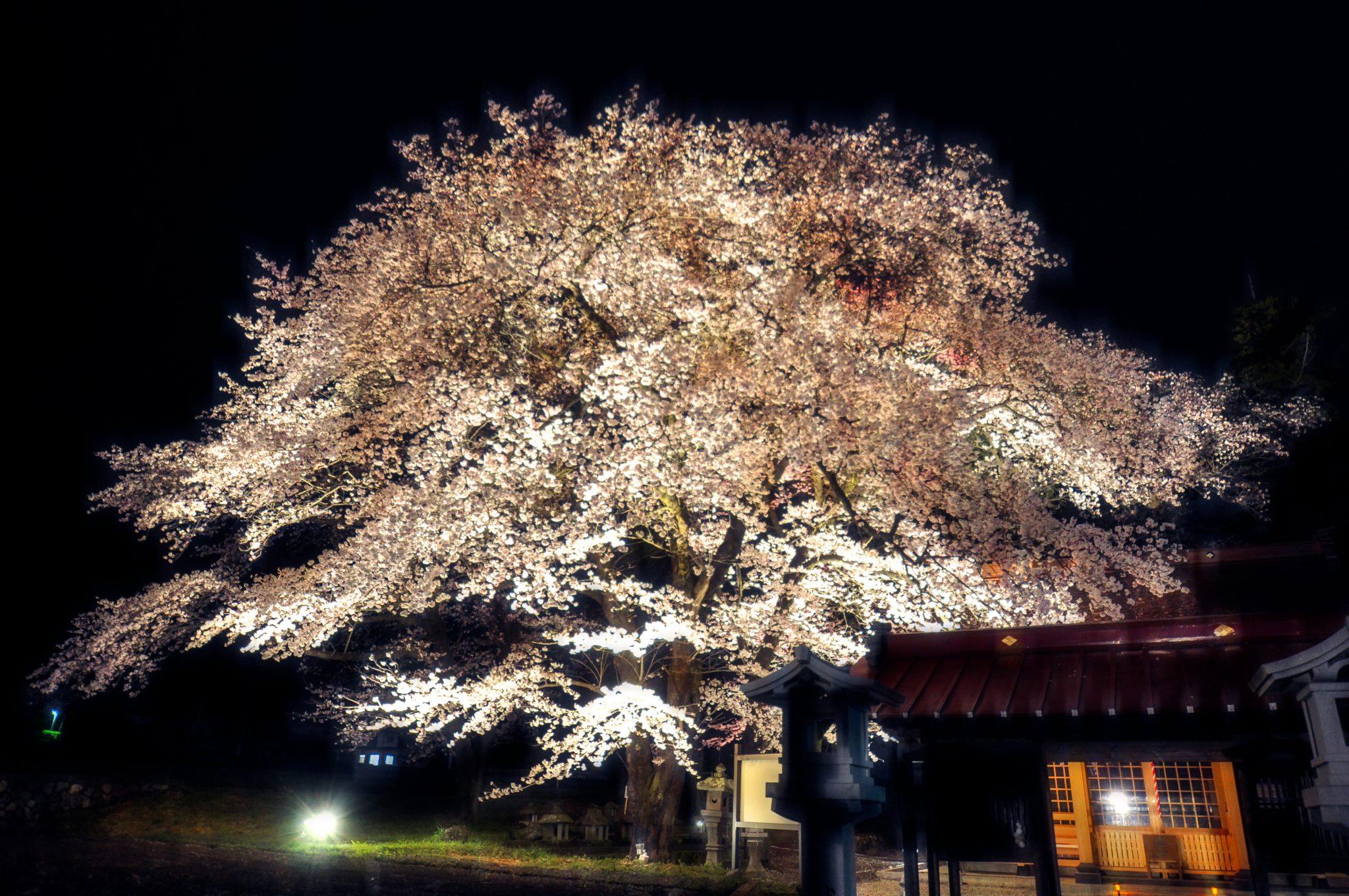 わに塚の桜 写真4