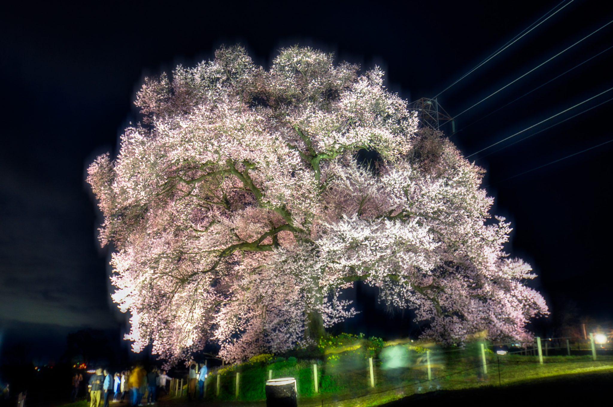 わに塚の桜 写真5