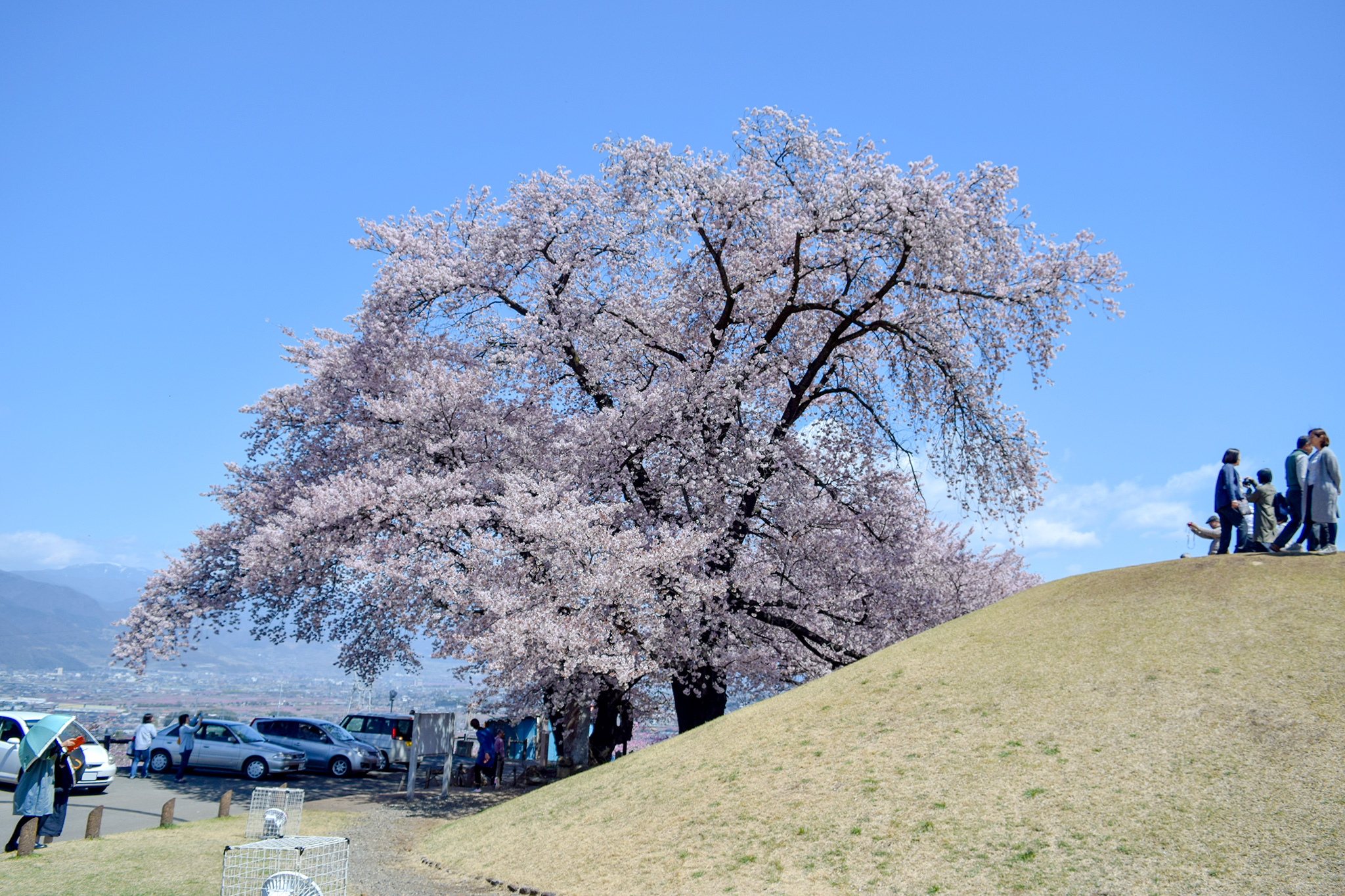 八代ふるさと公園の桜 写真1