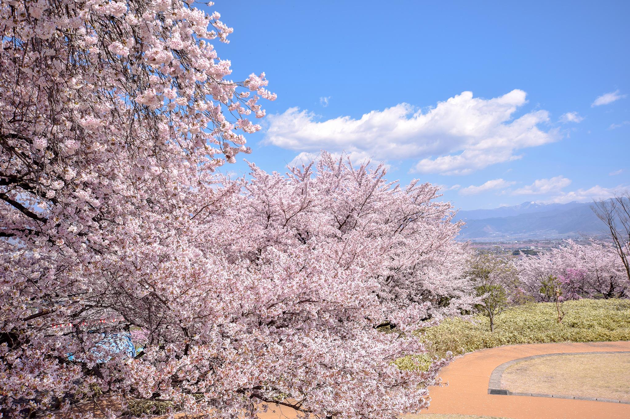 八代ふるさと公園の桜 写真2