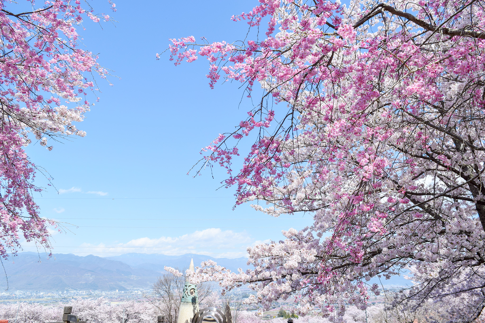 八代ふるさと公園の桜 写真3