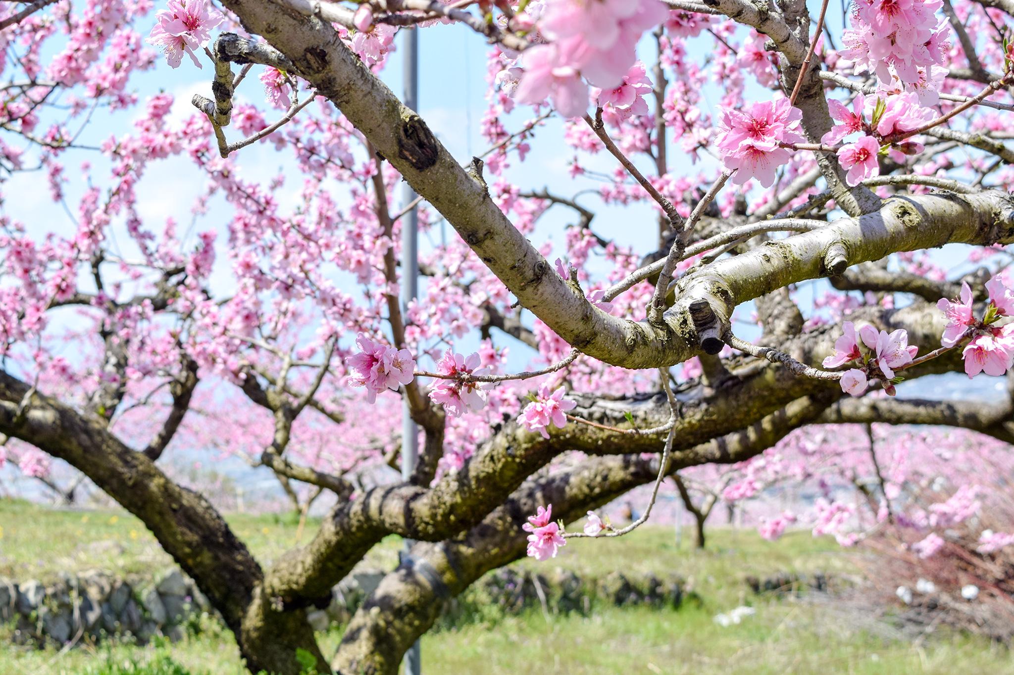 八代ふるさと公園の桜 写真4