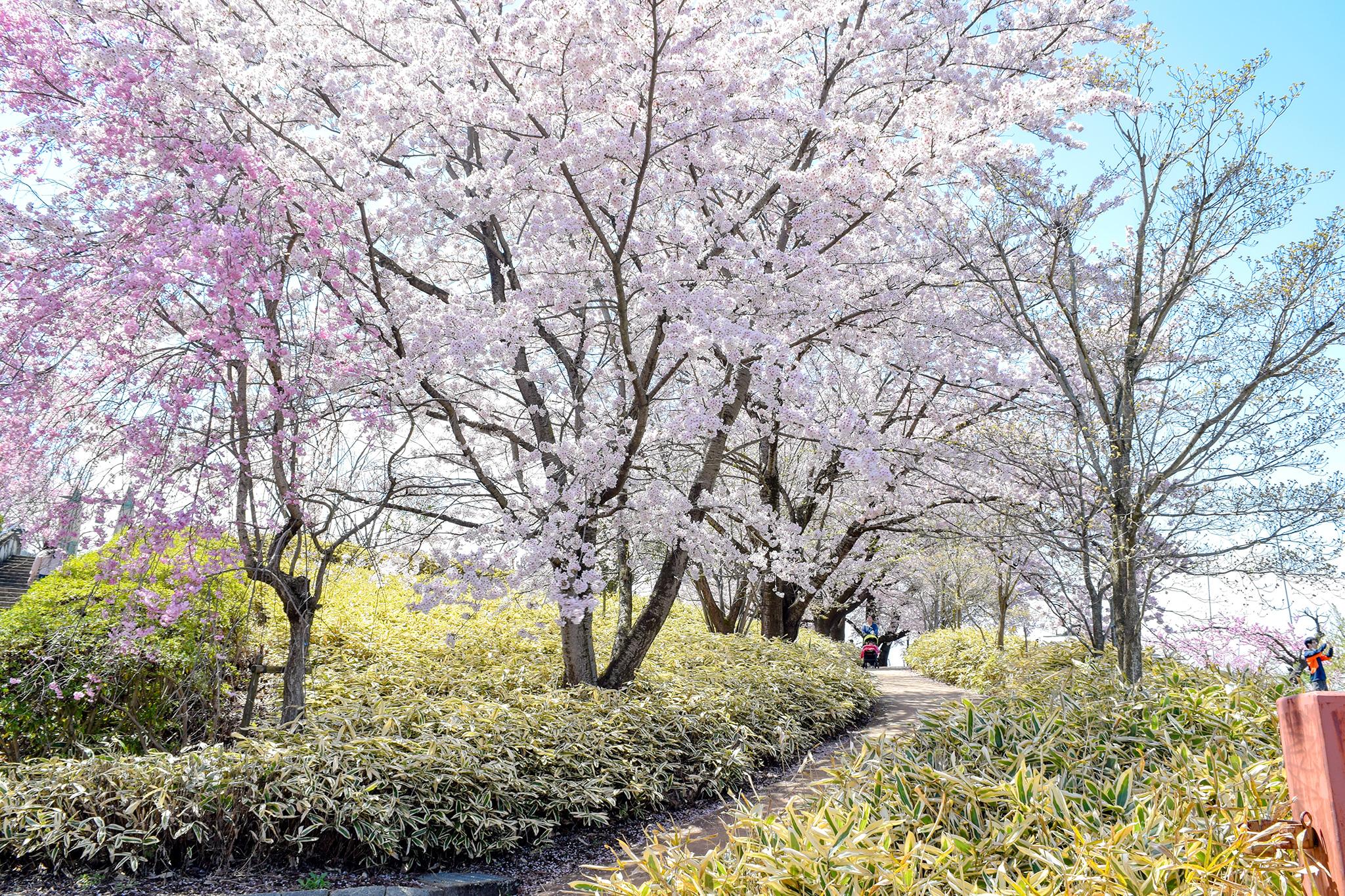 八代ふるさと公園の桜 写真5