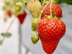 苺畑農場 甲州市 遊ぶ学ぶ 3