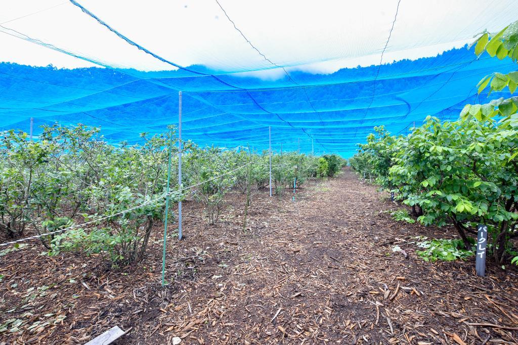 ブルーベリー摘み取り体験 大木原地区 鳴沢村 観光農園・フルーツ狩り 4