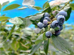 ブルーベリー摘み取り体験 大木原地区 鳴沢村 観光農園・フルーツ狩り 5
