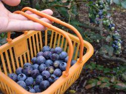渡辺まるふ摘み取り園 鳴沢村 観光農園・フルーツ狩り 4