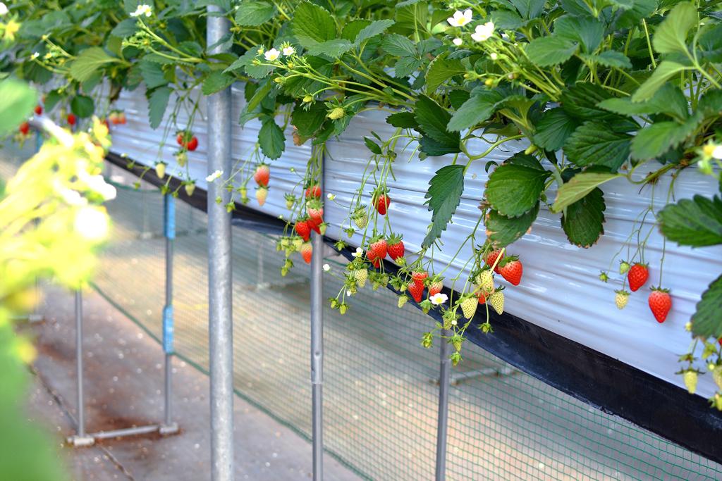 いちご園みないの栽培