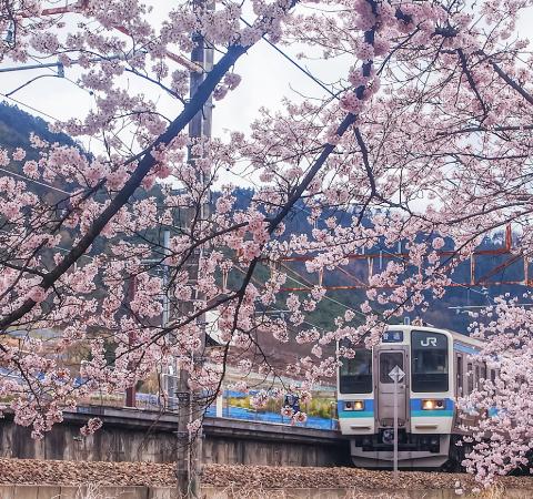 かつぬまぶどう郷駅 甚六桜