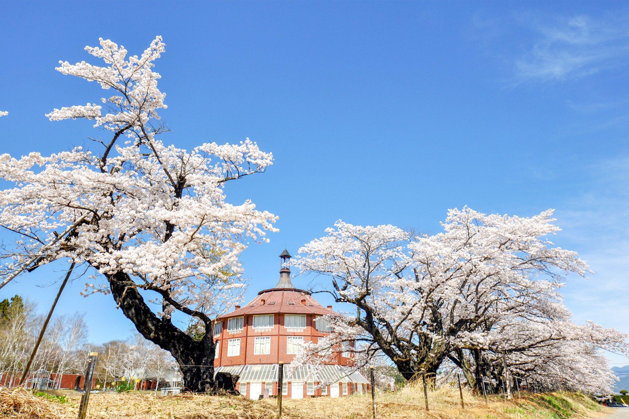 清春の桜 写真1