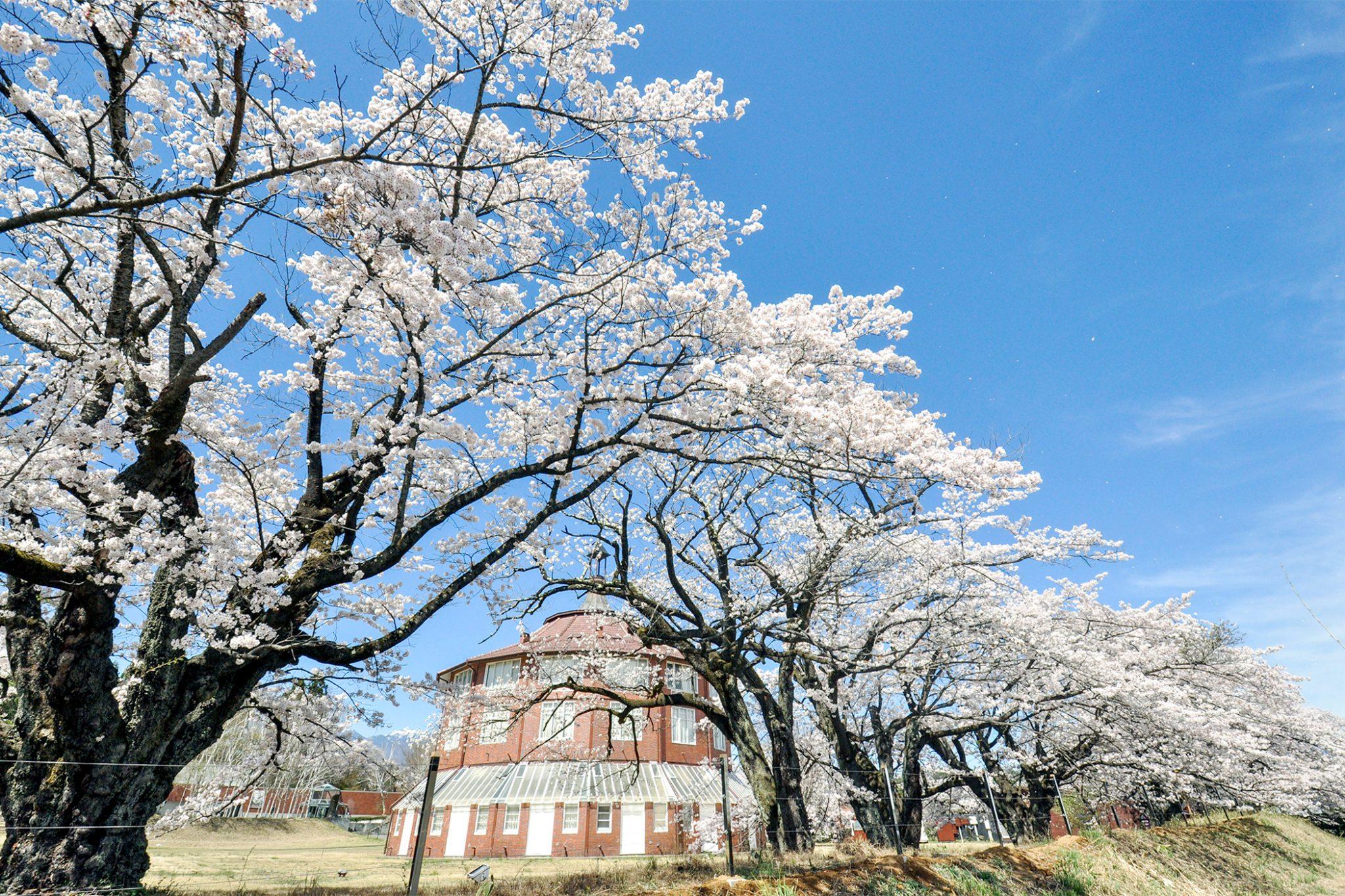 清春の桜 写真2