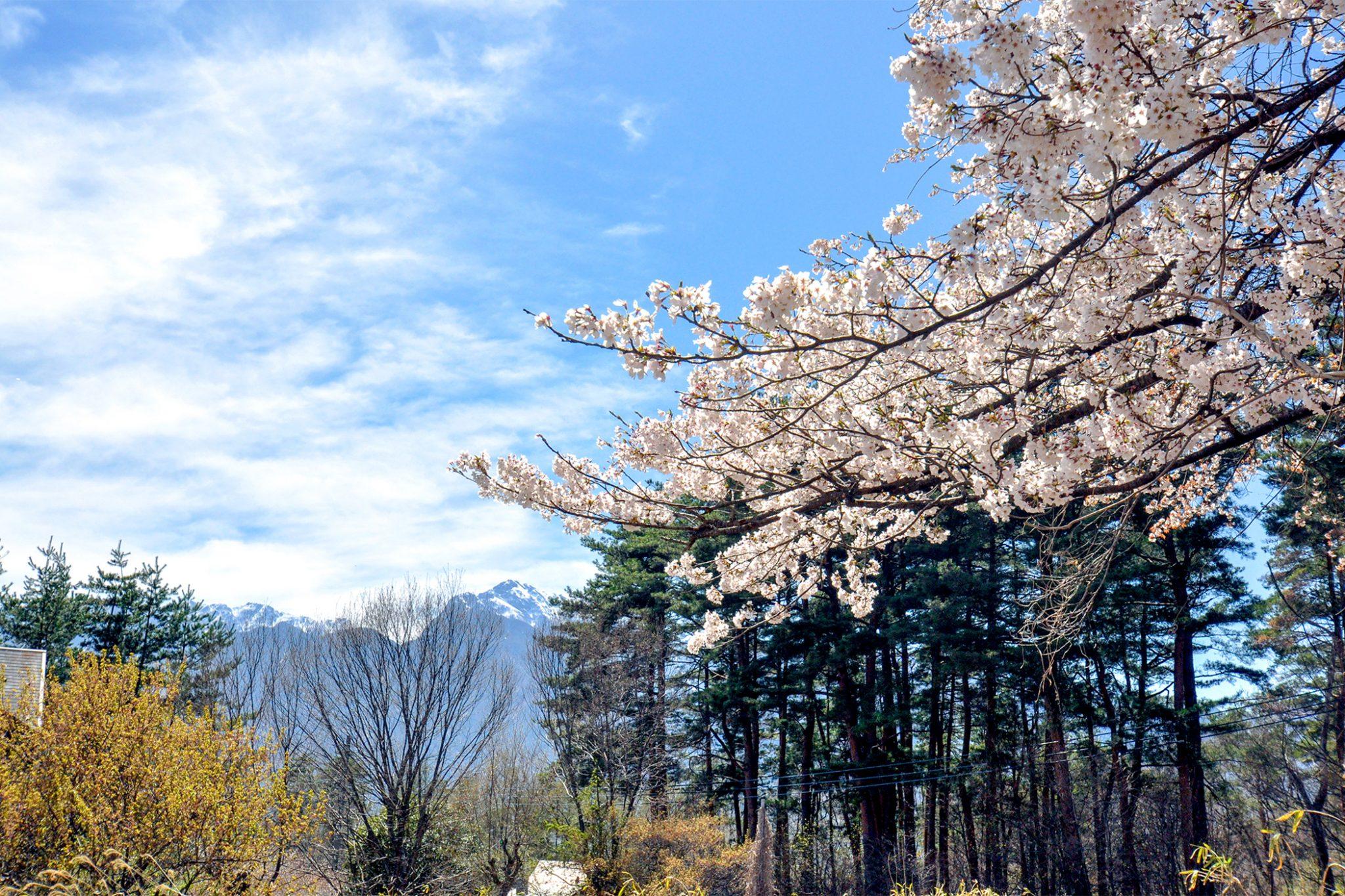 清春の桜 写真3