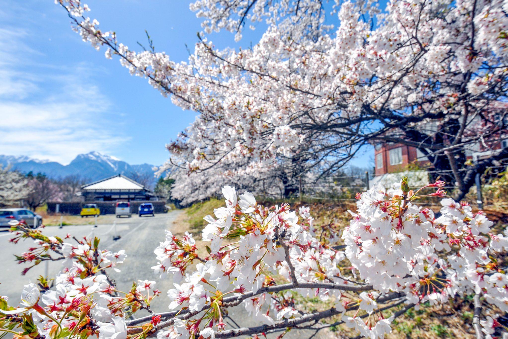 清春の桜 写真4