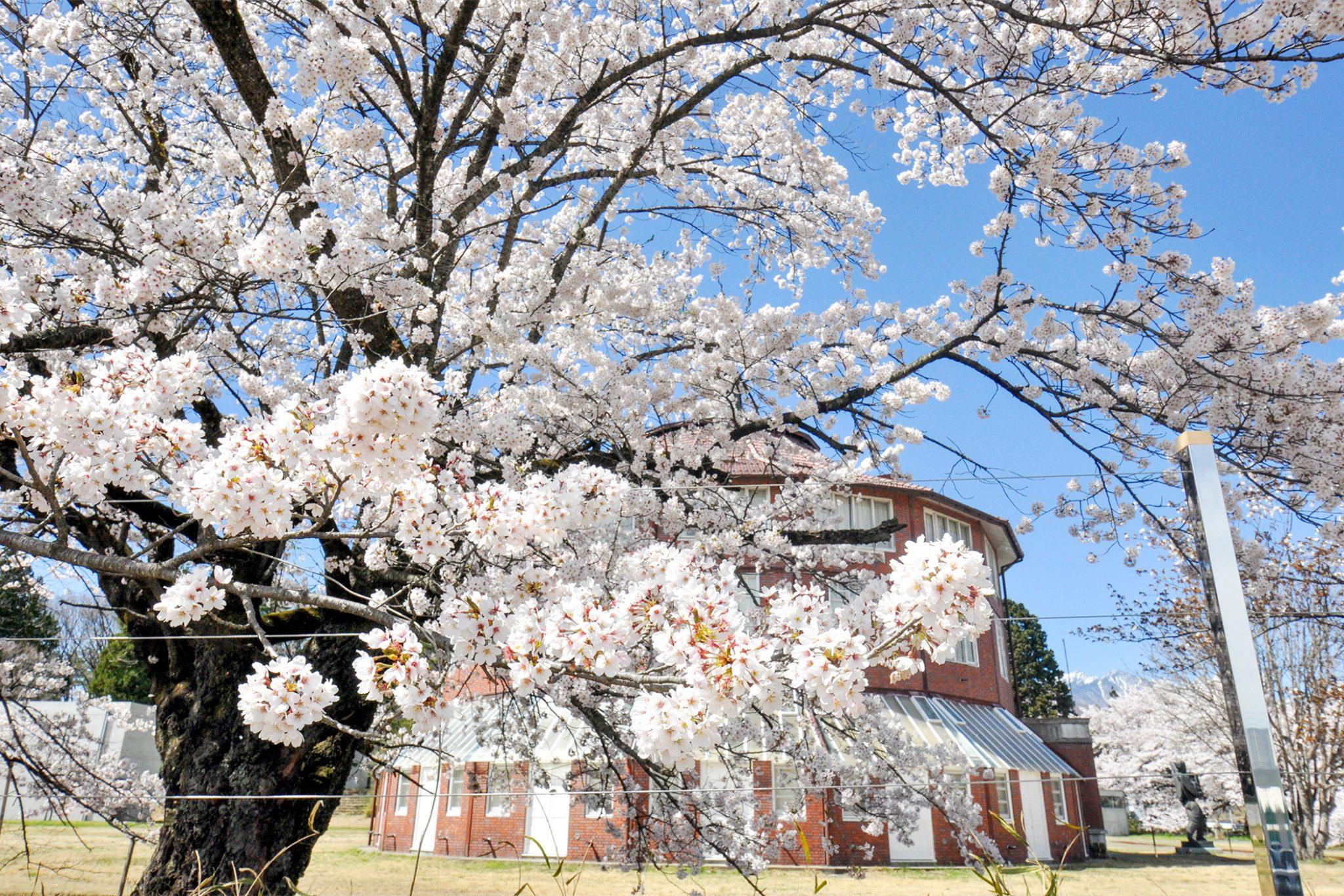 清春の桜 写真5