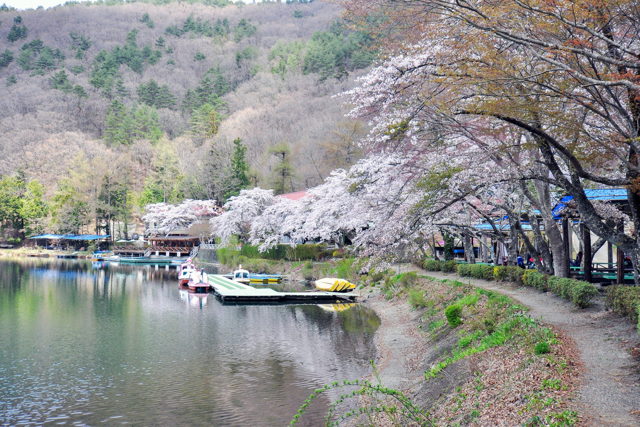 四尾連湖の桜 写真2