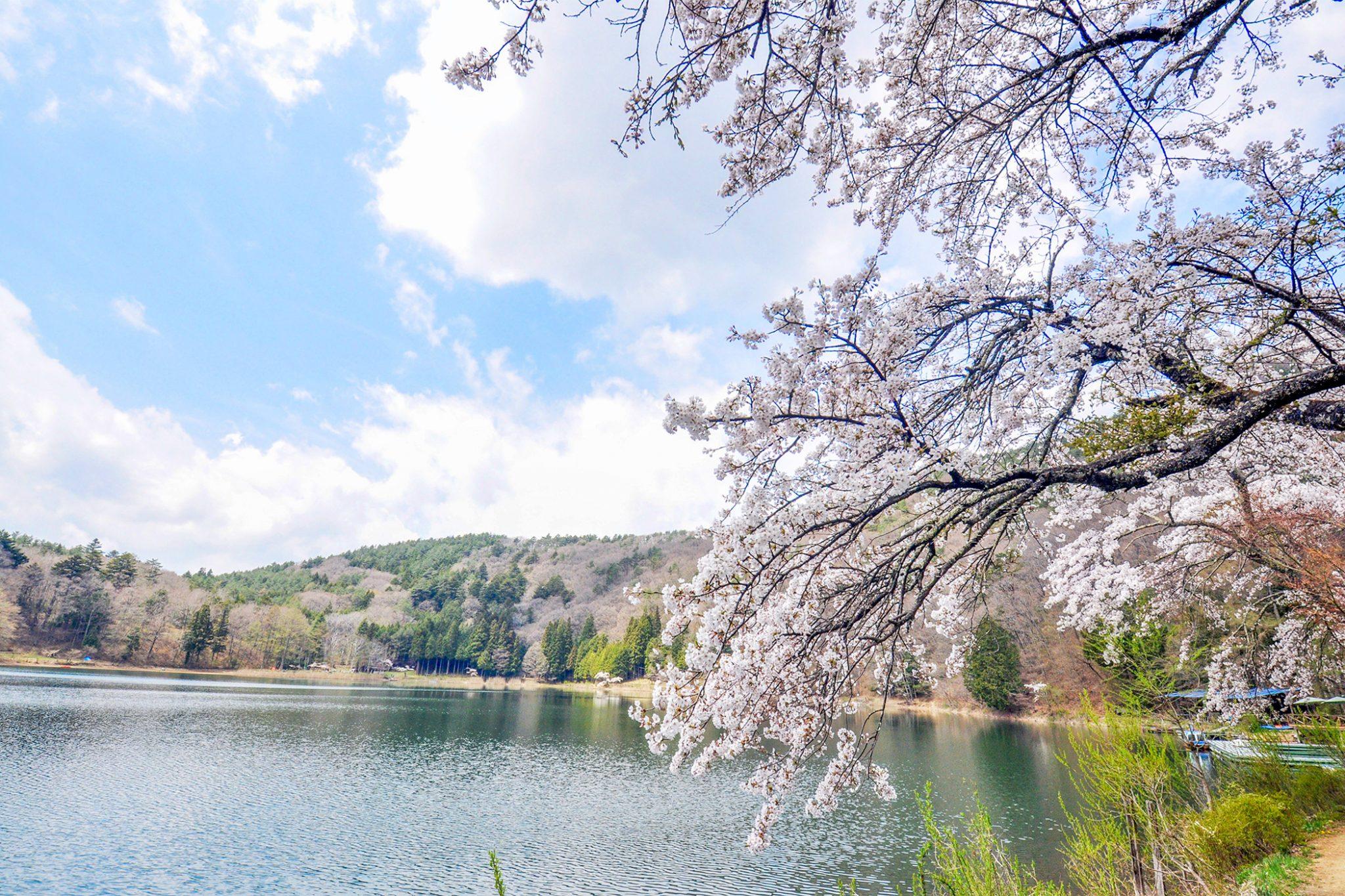 四尾連湖の桜 写真3