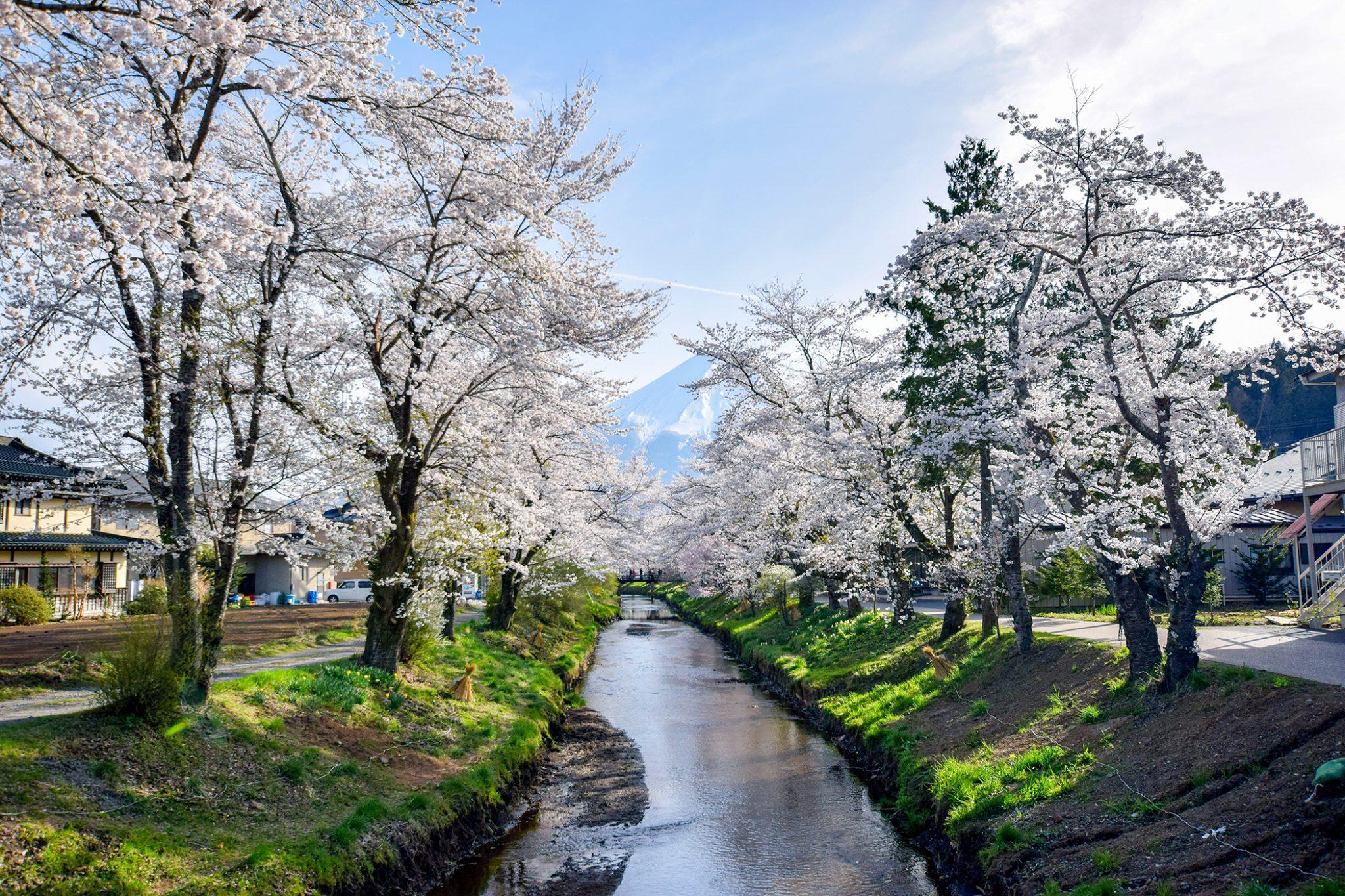 新名庄川沿いの桜 写真1