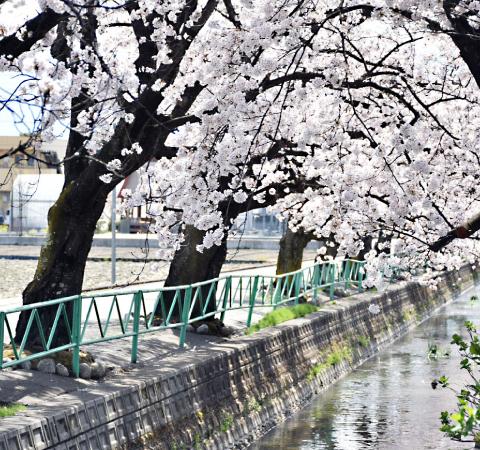 山伏川の桜並木