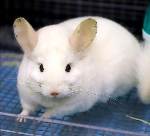 チンチラ(スーパーホワイト)の写真