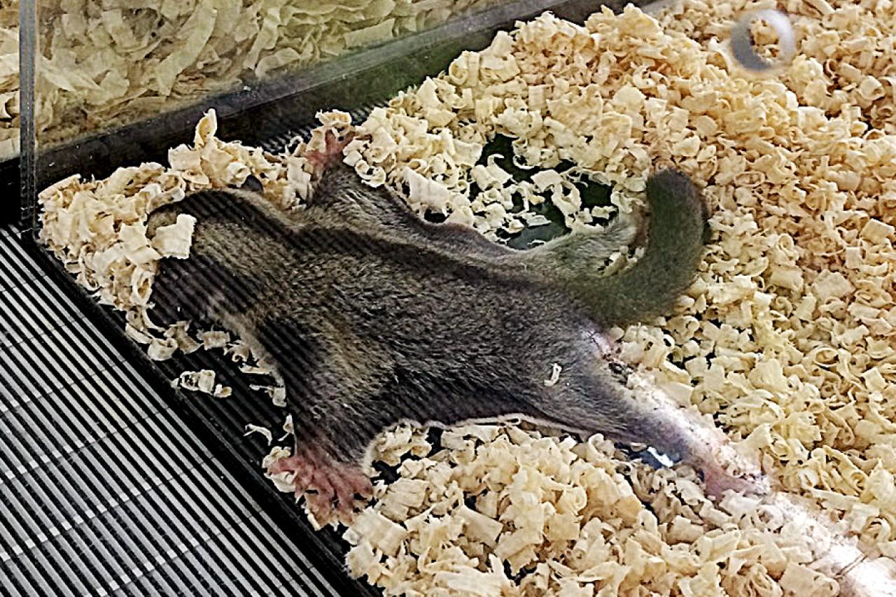 フクロモモンガの写真7