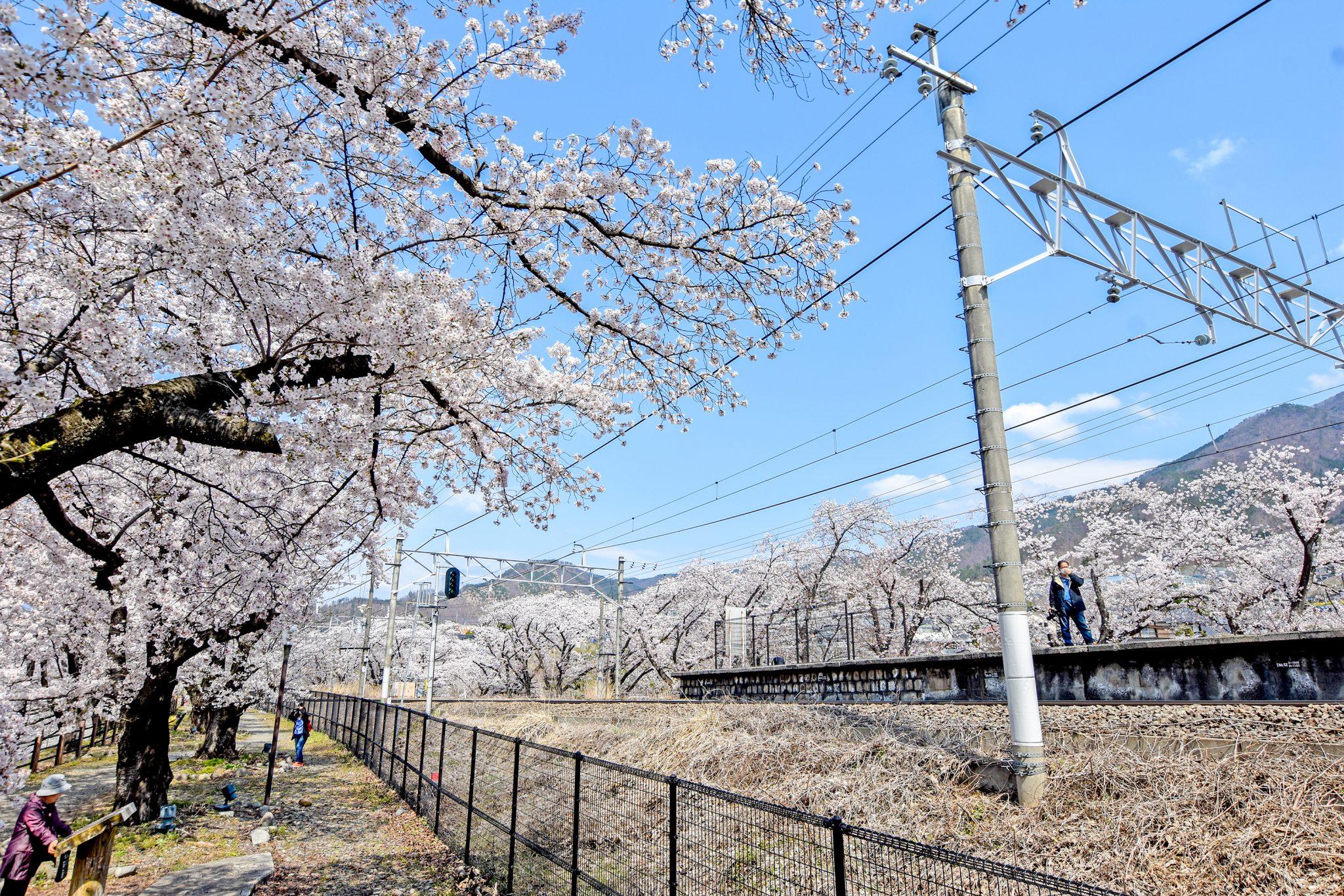 かつぬまぶどう郷駅 甚六桜 写真2
