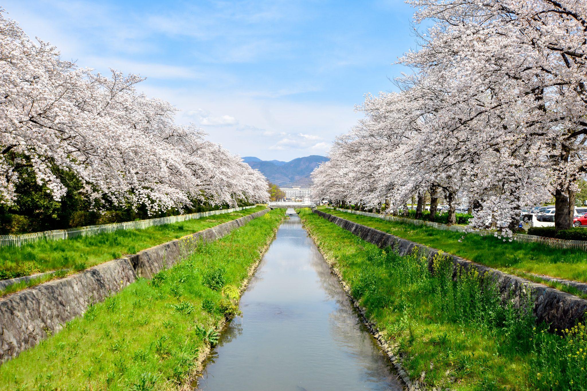 小瀬スポーツ公園の桜 写真1