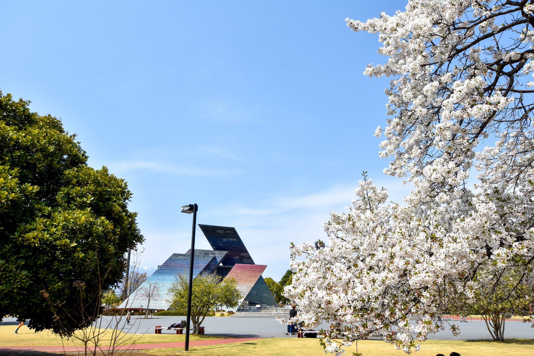 小瀬スポーツ公園の桜 写真4