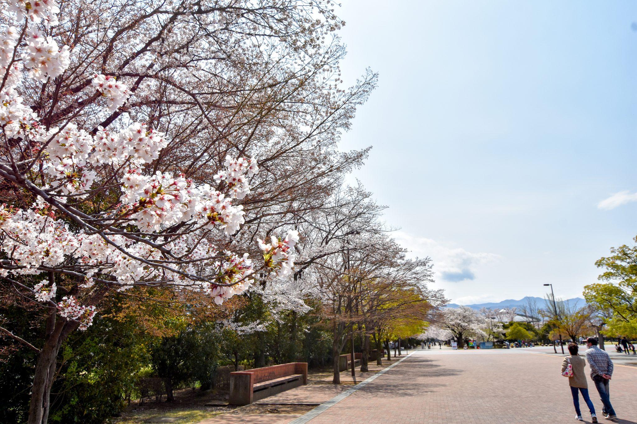 小瀬スポーツ公園の桜 写真5