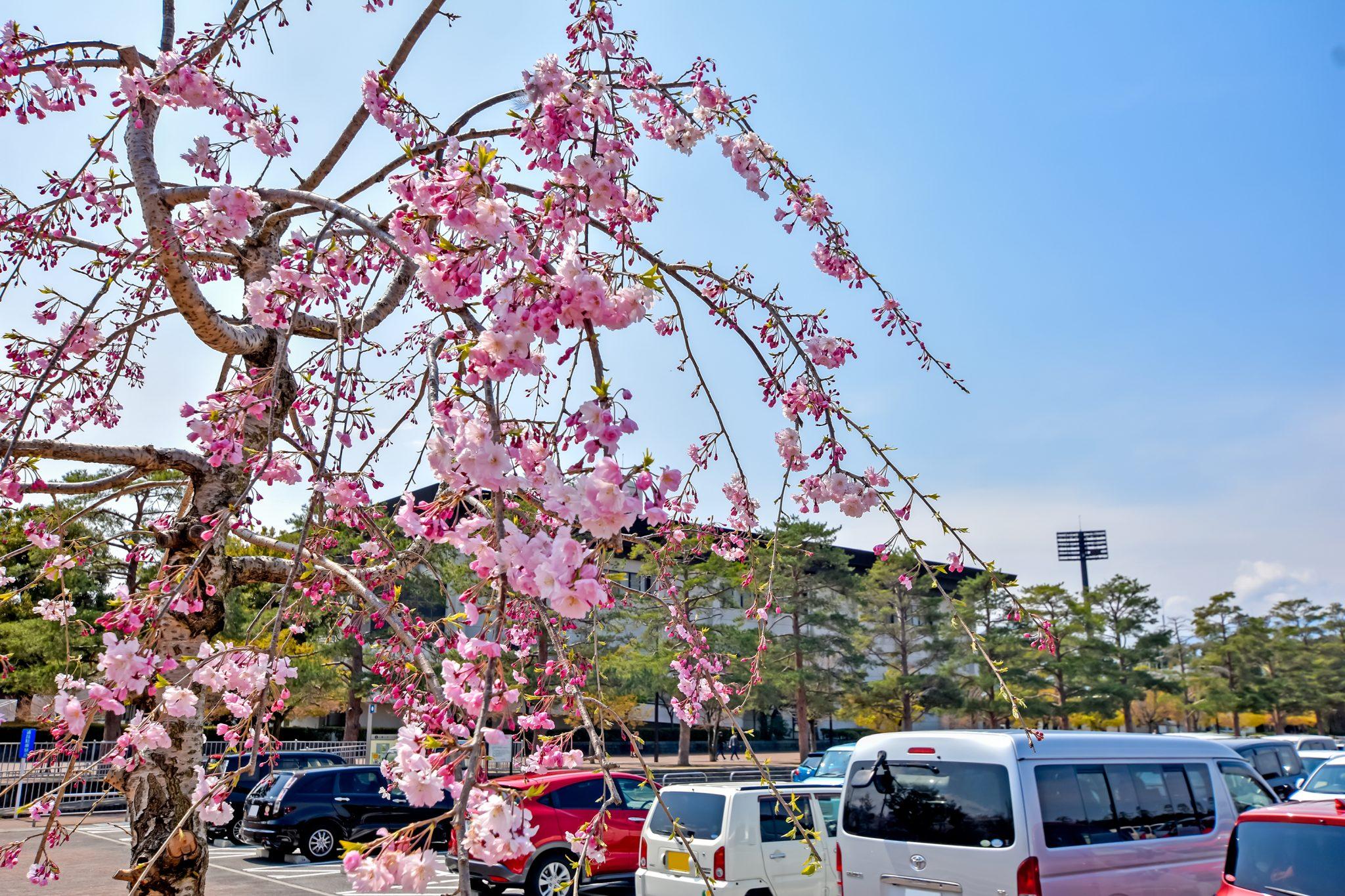 小瀬スポーツ公園の桜 写真6