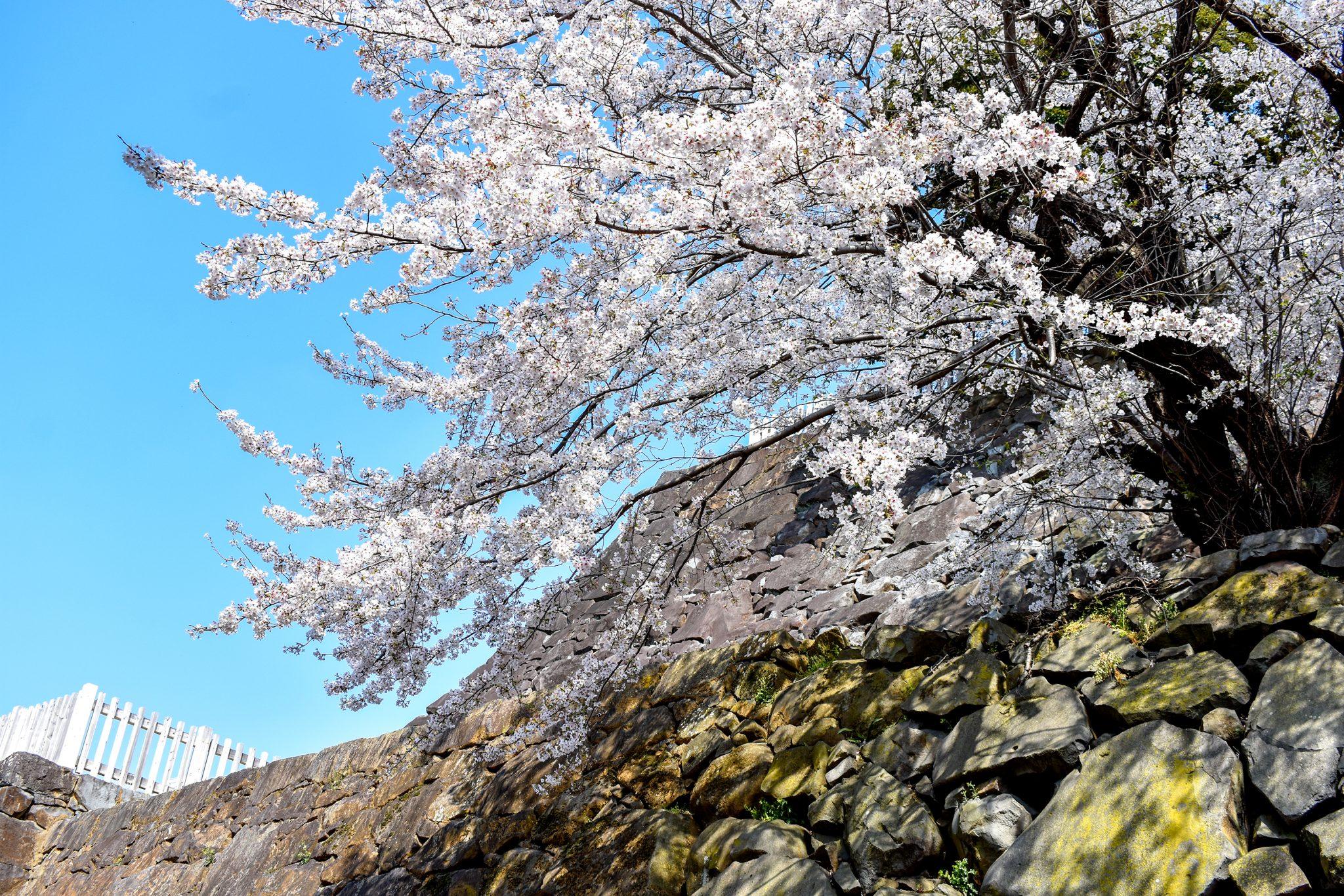 舞鶴城公園の桜 写真7